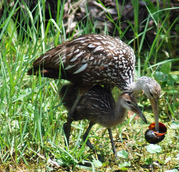 Limpkin Poster featuring the photograph Mom And Baby Limpkin by Christine Savino
