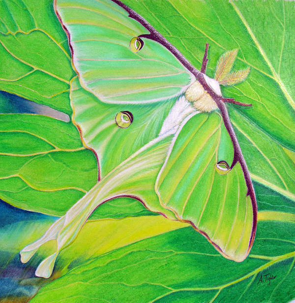 Luna Moth Poster featuring the painting Must Be Dreaming by Amy Tyler