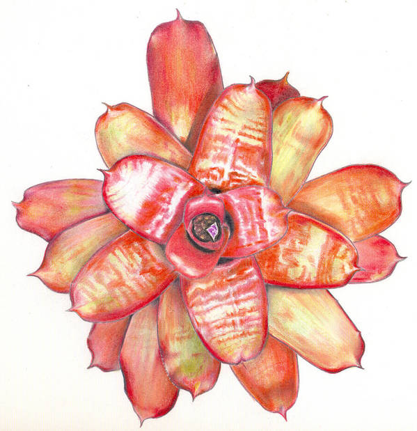 Bromeliad Poster featuring the painting Neoregelia Small Wonder by Penrith Goff