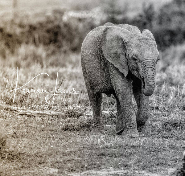 #baby #elephant #onetherun #running #cute #adorable #sweet #innocent #africa #masaimara #kenya #shootpicturesnotelephants Poster featuring the photograph On The Run by Karen Lewis