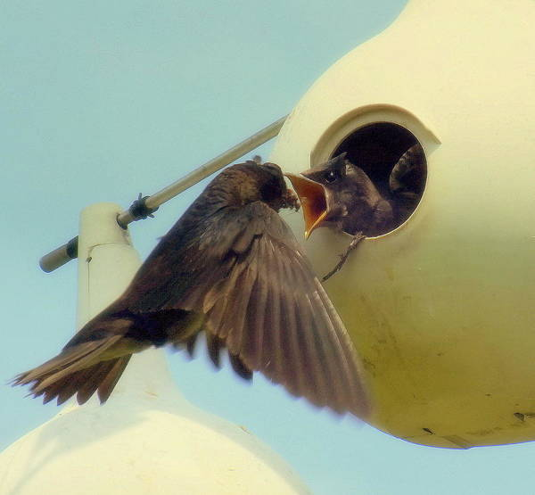 Purple Martins Poster featuring the photograph Open Wide by Karen Wiles