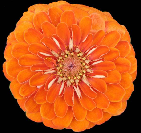 Orange Zinia Flower Flowers Summer Close Up Garden Nature Poster featuring the photograph Orange Crush Zinia by Kat Dee