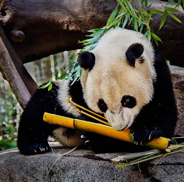 Animals Poster featuring the photograph Panda Bear by Robert Bales