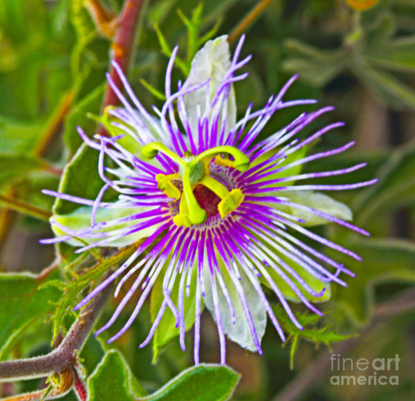 Passionflower Poster featuring the photograph Passion Flower by Edita De Lima