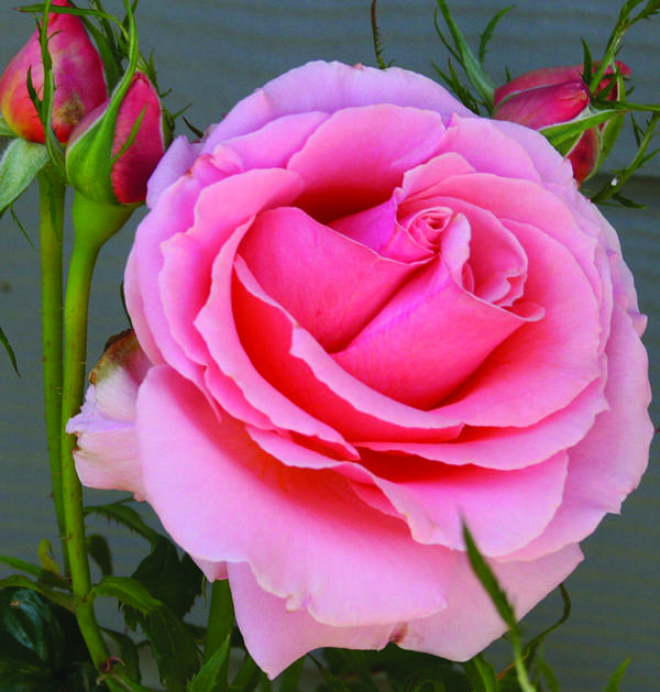 Rose Poster featuring the photograph Pink Rose by Mary Gaines