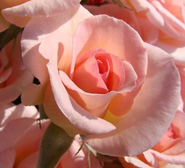Pink Poster featuring the photograph Pink Roses by Liz Vernand
