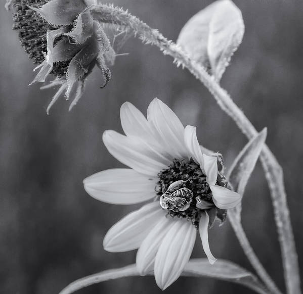 Flower Poster featuring the photograph Pollinator by Jayme Spoolstra