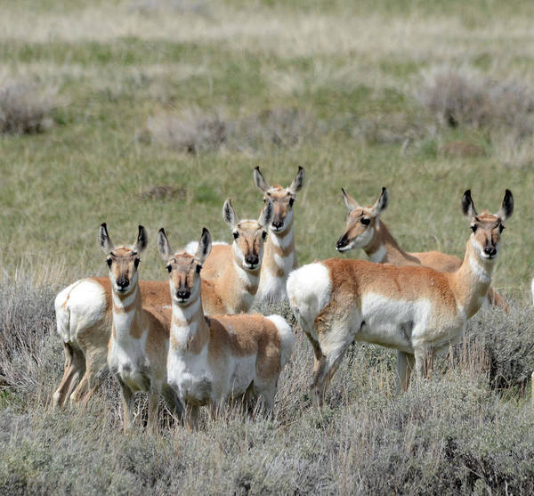 Pronghorn Poster featuring the photograph Pronghorn Harem by Whispering Peaks Photography