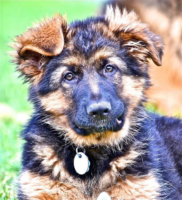 German Shepherd Dog Poster featuring the photograph Puppy Oskar 2 by Danielle Sigmon