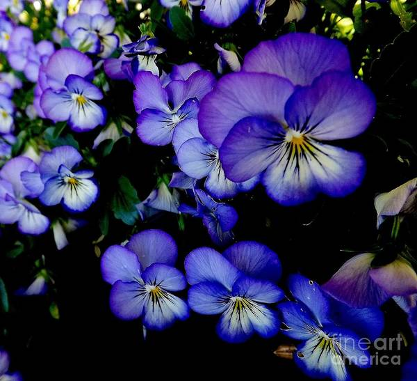 Purple Poster featuring the photograph Purple Pansies by Lora Wood
