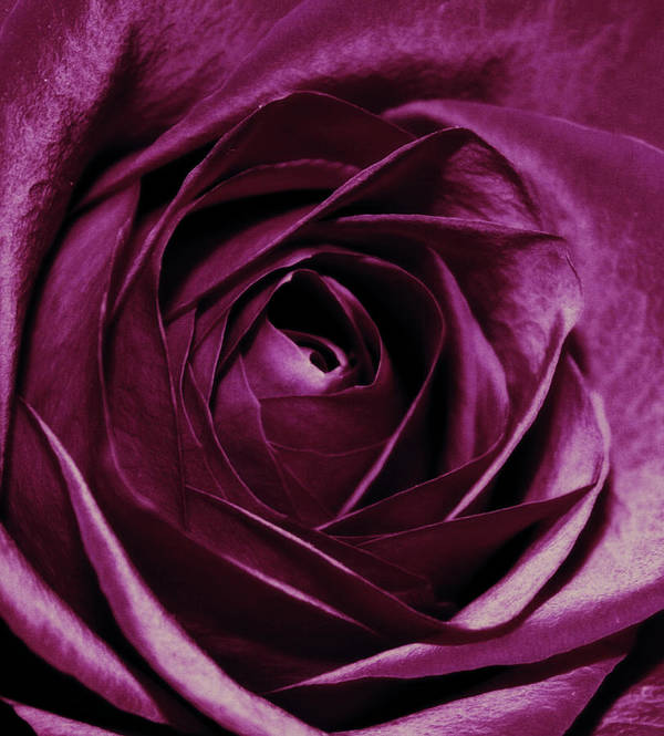 Flowers Poster featuring the photograph Purple Passion by Cathie Tyler