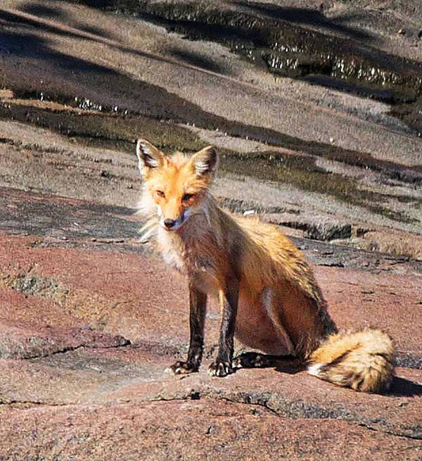 Red Fox Poster featuring the photograph Red Fox In Maine by Joe Granita