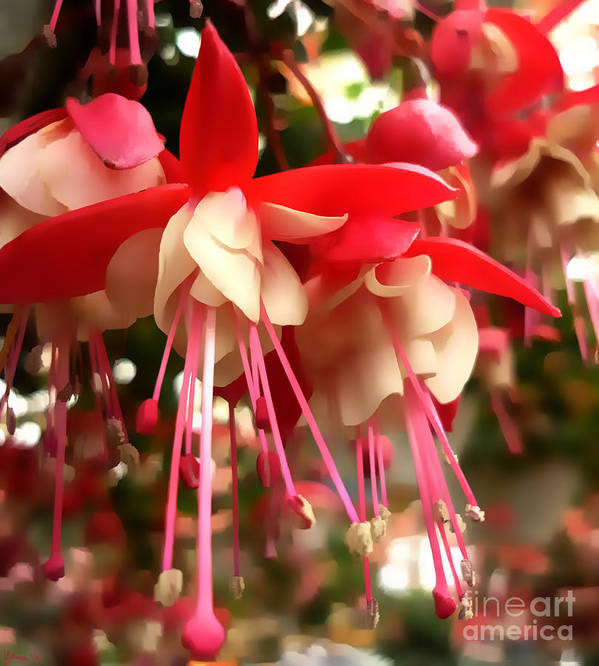 Fuschia Poster featuring the photograph Red Fuschia by Jeff Breiman