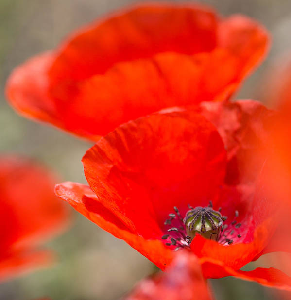 Poppy Poster featuring the photograph Red Poppy For Remembrance by Mo Barton