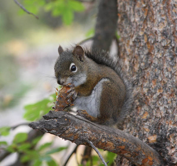 Squirrel Poster featuring the photograph Red Squirrel by Doug Johnson