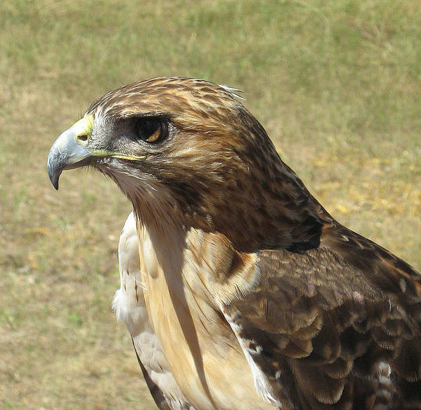 Red Tail Hawk Poster featuring the photograph Red Tail Hawk by Rebecca Shupp