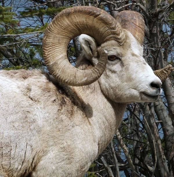 Wildlife Poster featuring the photograph Rocky Mountain Ram by Tiffany Vest