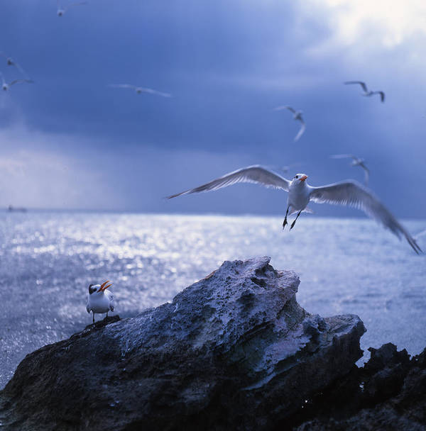 Nature Poster featuring the photograph Seabird Flack by Benjamin Garvey