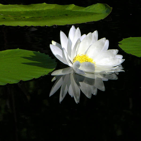Water Lily Poster featuring the photograph Simply White on Black by John Lautermilch