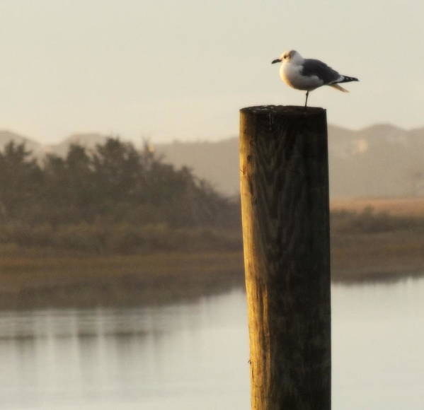 Seagulls Poster featuring the photograph Soft Mornings by Karen Wiles