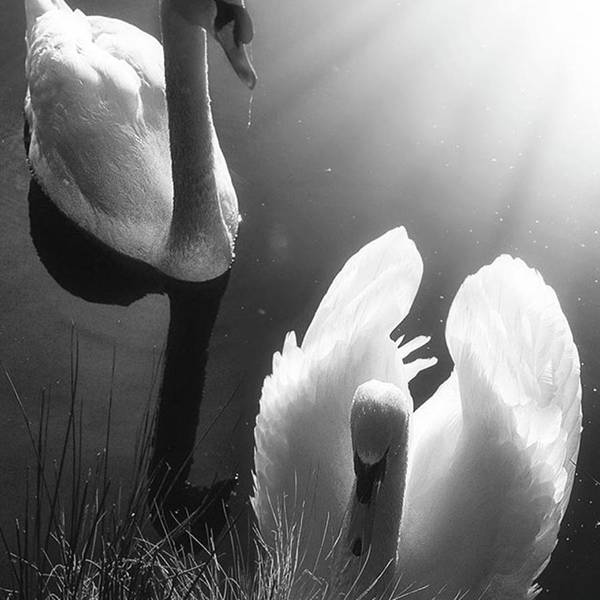 Swan Poster featuring the photograph Swan Lake In Winter - Kingsbury Nature by John Edwards