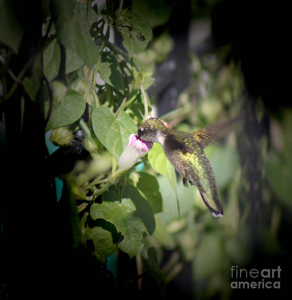 Small; Young; Flying; Wings Spread Out; Mid Flight; Hummingbird; Bird; Tiny; Nature; Photography; Cathy Beharriell Poster featuring the photograph Through Garden Gates by Cathy Beharriell