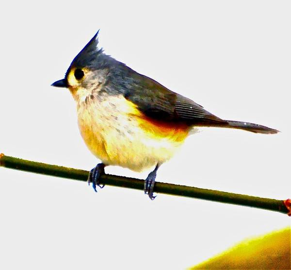 Titmouse Poster featuring the photograph Titmouse 2 by Danielle Sigmon
