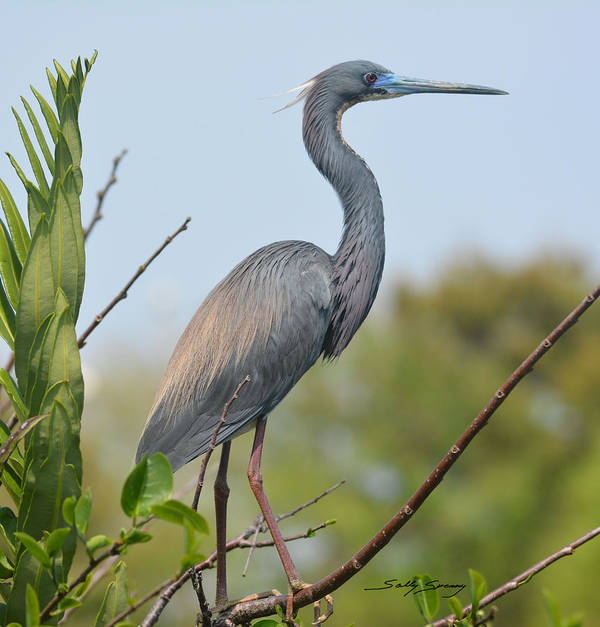 Heron Poster featuring the pyrography TriColored Heron by Sally Sperry