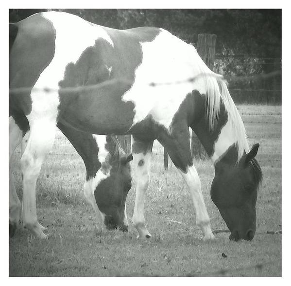 Pintos Black And White Photograph Digitally Enhanced Water Color Poster featuring the photograph Two Pintos by Judy Arline Puckett