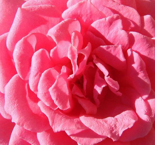 Rose Poster featuring the photograph Very Pink Mini by Liz Vernand