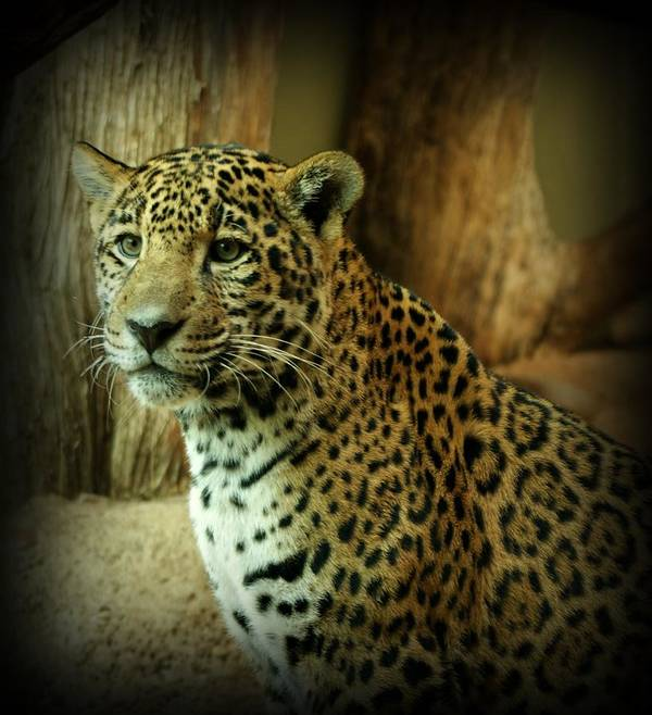 Jaguar Poster featuring the photograph Watching by Sandy Keeton