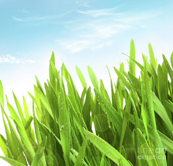 Abstract; Background; Beams; Beautiful; Beauty; Clear; Close; Closeup; Color; Concept; Day; Dew; Drop; Environment; Field; Fresh; Freshness; Good; Grass; Grassy; Green; Grow; Growth; Health; Healthy; Idea; Lawn; Light; Meadow; Moisture; Morning; Natural; Nature; New; Perfect; Spring; Summer; Sun; Sunny; Vibrant; Vitality; Vivid; Wallpaper; Water; Wheat; Young; Poster featuring the photograph Wheatgrass Against A White by Sandra Cunningham