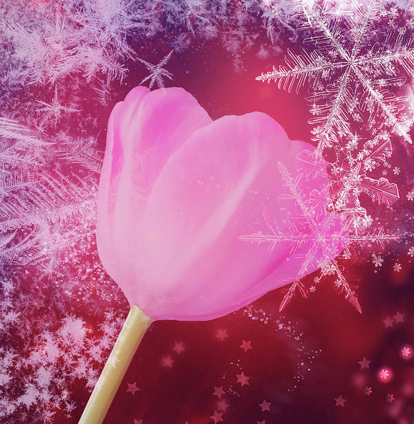 Winter Poster featuring the photograph Winter Tulip Red Theme Snow by Johanna Hurmerinta