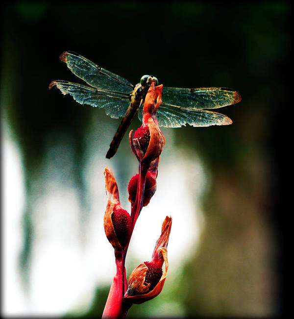 Dragonfly Poster featuring the photograph Wornout Dragonfly by Susie Weaver