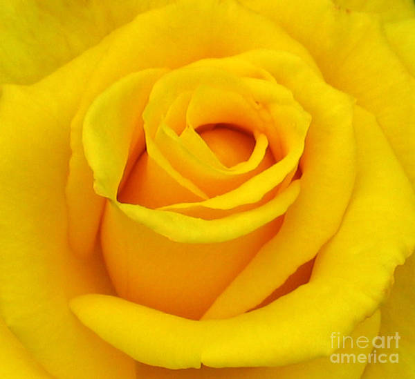 Yellow Rose Poster featuring the photograph Yellow Beauty by Mg Blackstock