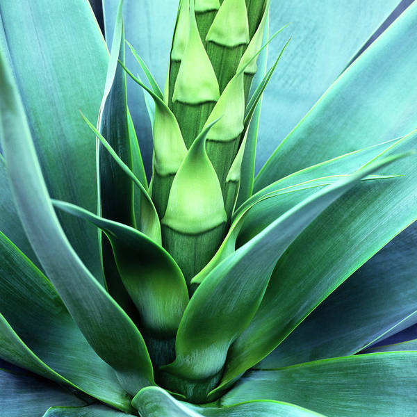 Agave Poster featuring the photograph Blue Agave by Oleg Moiseyenko