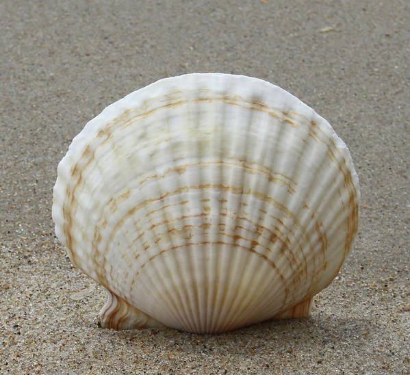 Shell Poster featuring the photograph Cockle Shell 2015c by Cathy Lindsey