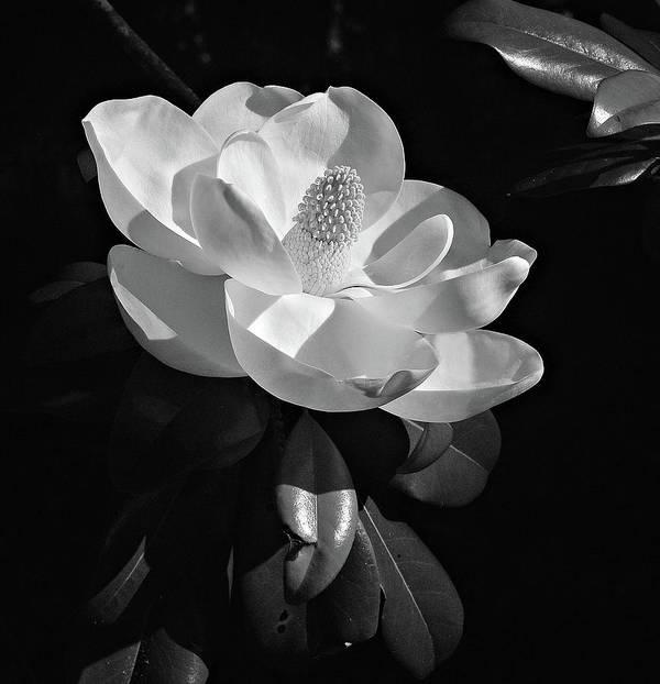 Magnolia 1 by Carey Smith