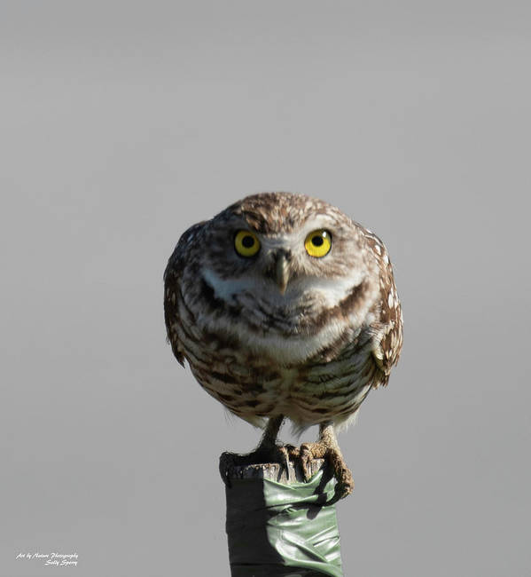 Burrowing Owl Poster featuring the photograph Whooo Are You by Sally Sperry