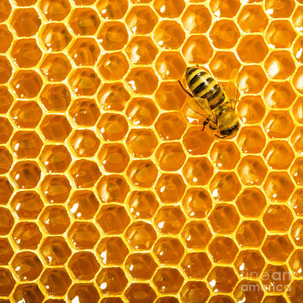 Bee Poster featuring the photograph Working Bee On Honeycells by Studiosmart