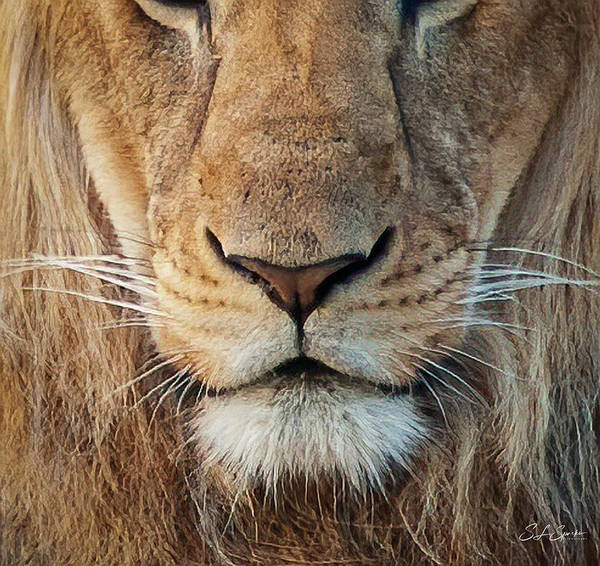 Lion Poster featuring the photograph Lion by Steven Sparks