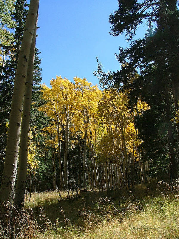 Mary Dove Art Poster featuring the photograph Flagstaff Aspens 801 by Mary Dove