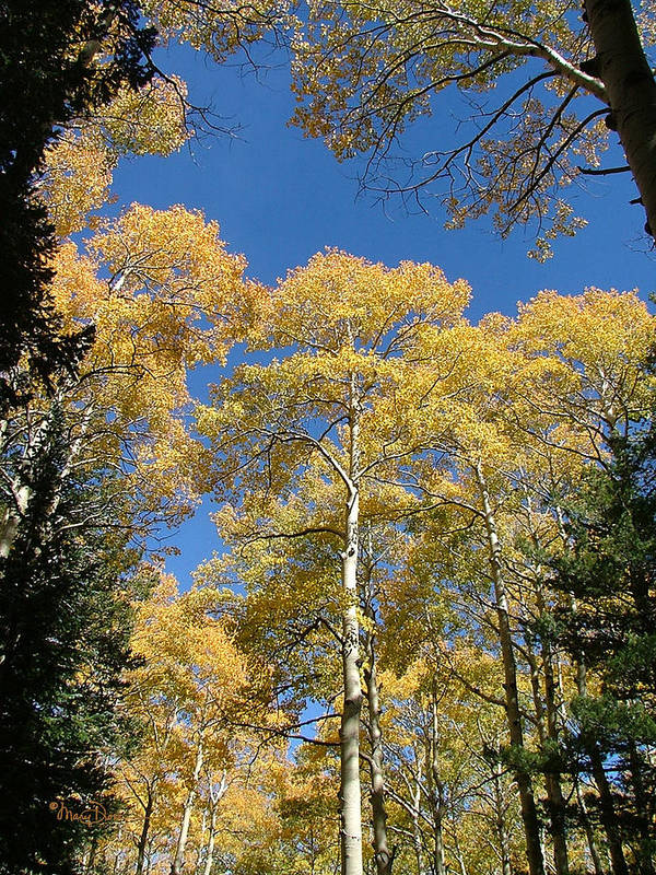Mary Dove Art Poster featuring the photograph Flagstaff Aspens 803 by Mary Dove