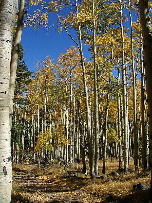 Aspen Prints Poster featuring the photograph Flagstaff Aspens 799 by Mary Dove