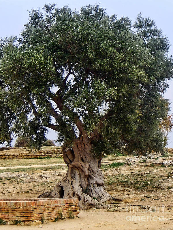 Olive Tree Poster featuring the photograph Olive Tree Sicily by Lutz Baar