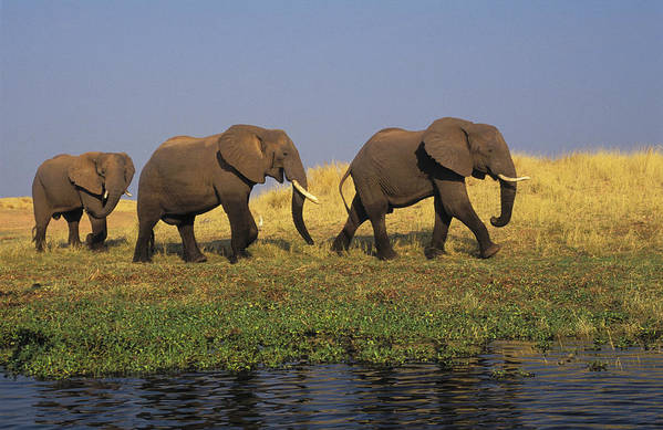 African Elephants Poster featuring the photograph African Elephants, Lake Kariba by Thomas Kitchin & Victoria Hurst