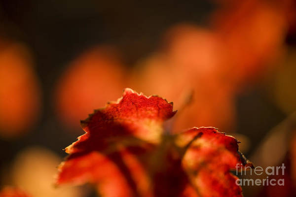California Poster featuring the photograph Autumn Grape Leaf Macro by Charmian Vistaunet