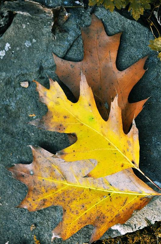 Autumn Poster featuring the photograph Falls Carpet by JAMART Photography