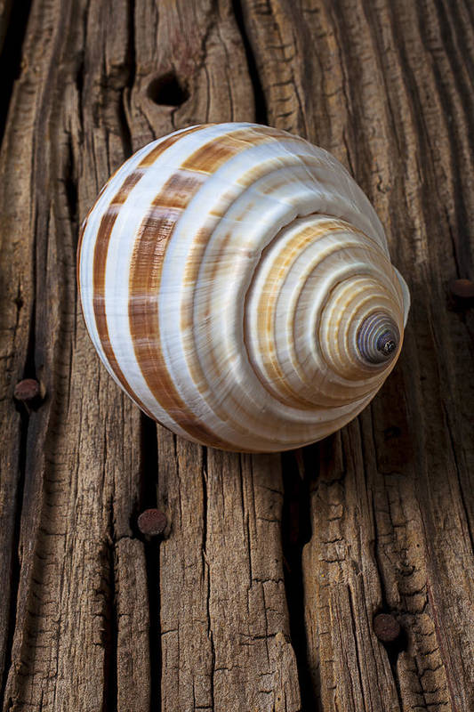 Sea Shell Poster featuring the photograph Found Sea Shell by Garry Gay