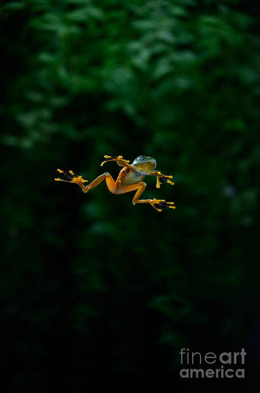 Rhacophorus Poster featuring the photograph Gliding Frog In Flights by Scott Linstead